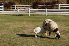 Τα πρόβατα Στοκ φωτογραφία με δικαίωμα ελεύθερης χρήσης