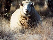 Τα πρόβατα Στοκ Φωτογραφία