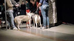 Τα πρότυπα αναμένουν την εμφάνιση στο διάδρομο στα παρασκήνια στα παλτά γουνών και με δύο γεροδεμένα σκυλιά απόθεμα βίντεο