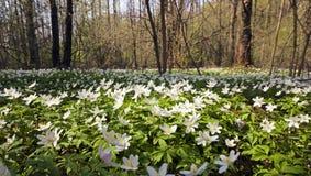 Τα πρώτα άσπρα λουλούδια Στοκ Εικόνα