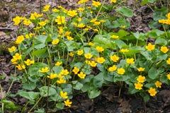 Τα πρώτα κίτρινα λουλούδια Στοκ φωτογραφία με δικαίωμα ελεύθερης χρήσης
