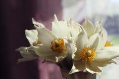 Τα πρώτα λουλούδια άνοιξη - snowdrops! Στοκ Φωτογραφίες