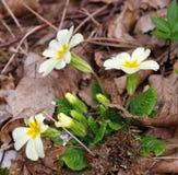 Τα πρώτα λουλούδια άνοιξη Στοκ φωτογραφία με δικαίωμα ελεύθερης χρήσης