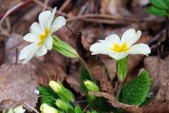 Τα πρώτα λουλούδια άνοιξη Στοκ Εικόνες