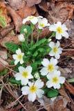 Τα πρώτα λουλούδια άνοιξη Στοκ Εικόνα