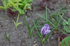 Τα πρώτα λουλούδια καλλιεργούν την άνοιξη Στοκ φωτογραφία με δικαίωμα ελεύθερης χρήσης