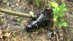 Τα πρώτα πετούν τα τοξικά απόβλητα, καθαρισμένο συνθετικό, πίσσα δηλητηριώδες θέμα ασφάλτου λεπτομέρειας μέσω του κλάδου, φύση απ απόθεμα βίντεο