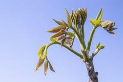 Τα πρώτα φύλλα ενός νέου ξύλου καρυδιάς αυξάνονται την άνοιξη : E στοκ εικόνες