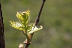 Τα πρώτα φύλλα των νέων σταφυλιών ανθίζουν την άνοιξη E στοκ φωτογραφίες με δικαίωμα ελεύθερης χρήσης