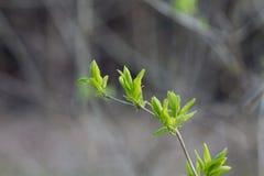 Τα πρώτα φύλλα στους κλάδους στην άνοιξη κασσίτερου θολωμένο Στοκ Φωτογραφία