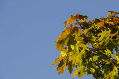 Τα πρώτα χρώματα του φθινοπώρου - πράσινα φύλλα σφενδάμου που αρχίζουν να γίνεται κόκκινος σε μια ηλιόλουστη ημέρα Στοκ φωτογραφία με δικαίωμα ελεύθερης χρήσης