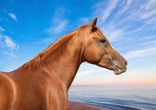 Τα ρωσικά φορούν το άλογο Στοκ εικόνα με δικαίωμα ελεύθερης χρήσης