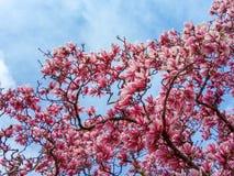 Τα ρόδινα λουλούδια δέντρων ανθών Magnolia, κλείνουν επάνω τον κλάδο στοκ εικόνες
