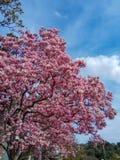 Τα ρόδινα λουλούδια δέντρων ανθών Magnolia, κλείνουν επάνω τον κλάδο στοκ εικόνα