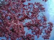Τα ρόδινα λουλούδια δέντρων ανθών Magnolia, κλείνουν επάνω τον κλάδο στοκ φωτογραφία