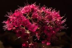 Τα ρόδινα λουλούδια του Άμστερνταμ Στοκ Φωτογραφίες