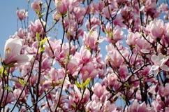 Τα ρόδινα λουλούδια magnolia υποβάλλουν προσφορά το floral υπόβαθρο, ρόδινα λουλούδια στο υπόβαθρο μπλε ουρανού Στοκ Εικόνες