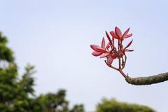 Τα ρόδινα λουλούδια Plumeria είναι ανθίζοντας στον κήπο Στοκ Φωτογραφίες