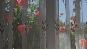 Τα ρόδινα τριαντάφυλλα έξω από το παράθυρο, από μια κουρτίνα φιλμ μικρού μήκους