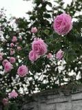 Τα ρόδινα τριαντάφυλλα κρεμούν πέρα από έναν φράκτη σε ένα αγροτικό χωριό στοκ εικόνα με δικαίωμα ελεύθερης χρήσης
