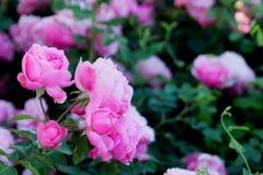 Τα ρόδινα τριαντάφυλλα στοκ εικόνες με δικαίωμα ελεύθερης χρήσης