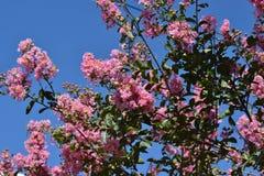 Τα ρόδινα χνουδωτά λουλούδια κρεμούν στις συστάδες στον υψηλό Μπους στοκ εικόνες