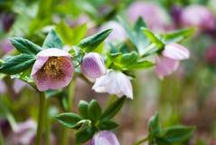 Τα ρόδινα Χριστούγεννα αυξήθηκαν λουλούδι με τα πράσινα φύλλα στοκ φωτογραφίες με δικαίωμα ελεύθερης χρήσης