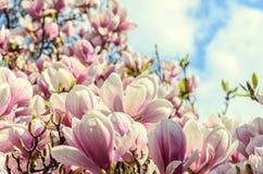 Τα ρόδινα λουλούδια δέντρων ανθών Magnolia, κλείνουν επάνω τον κλάδο, υπαίθριο Στοκ Εικόνες