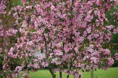 Τα ρόδινα λουλούδια ανθίζουν διακοσμητικό δέντρο της Apple στο πράσινο υπόβαθρο φύσης Στοκ εικόνες με δικαίωμα ελεύθερης χρήσης
