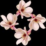 Τα ρόδινα λουλούδια κλάδων Magnolia, κλείνουν επάνω, floral ρύθμιση, που απομονώνεται Στοκ Φωτογραφία