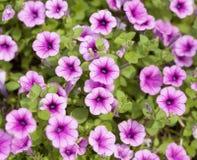 Τα ρόδινα λουλούδια πετουνιών Στοκ Εικόνες