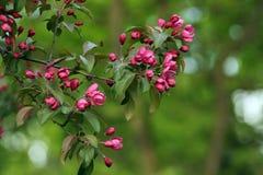 Τα ρόδινα λουλούδια σε ένα δέντρο σταθμεύουν την άνοιξη Στοκ Εικόνες