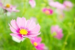 Τα ρόδινα λουλούδια στον κήπο, κόσμος ανθίζουν στο πάρκο, λουλούδι στοκ φωτογραφία με δικαίωμα ελεύθερης χρήσης