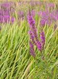 Τα ρόδινα λουλούδια Epilobium ή το angustifolium Chamerion Στοκ φωτογραφία με δικαίωμα ελεύθερης χρήσης