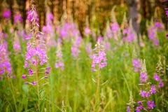 Τα ρόδινα λουλούδια (Epilobium ή angustifolium Chamerion) στο λιβάδι Στοκ Φωτογραφία