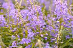 Τα ρόδινα λουλούδια (Epilobium ή angustifolium Chamerion) στο ivan τσάι άνθισης Στοκ Εικόνες