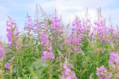 Τα ρόδινα λουλούδια (Epilobium ή angustifolium Chamerion) στο ivan τσάι άνθισης Στοκ Φωτογραφίες