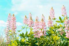 Τα ρόδινα λουλούδια lupines πέρα από το υπόβαθρο ουρανού το καλοκαίρι καλλιεργούν ή σταθμεύουν, υπαίθριο φ Στοκ Φωτογραφία