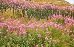 Τα ρόδινα λουλούδια & x28 Epilobium ή Chamerion angustifolium& x29  Στοκ Εικόνες