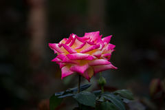 Τα ρόδινα τριαντάφυλλα Στοκ Εικόνα