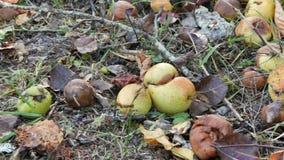 Τα σάπια αχλάδια πεσμένος από το δέντρο βρίσκονται στη χλόη απόθεμα βίντεο