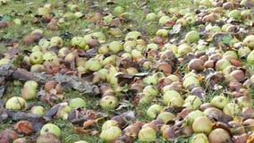 Τα σάπια αχλάδια πεσμένος από το δέντρο βρίσκονται στη χλόη φιλμ μικρού μήκους