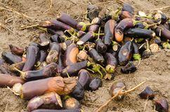 Τα σάπια χαλασμένα λαχανικά μελιτζάνας βρίσκονται στον τομέα φτωχή έννοια συγκομιδών απόβλητα παραγωγής, ασθένεια εγκαταστάσεων Γ στοκ εικόνα
