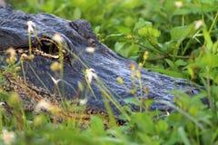 Τα σαν αλλιγάτορας επικεφαλής everglades κλείνουν επάνω Στοκ Εικόνα