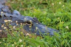 Τα σαν αλλιγάτορας επικεφαλής everglades κλείνουν επάνω Στοκ Φωτογραφίες