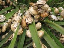 Τα σαλιγκάρια στο α βγάζουν φύλλα Στοκ φωτογραφία με δικαίωμα ελεύθερης χρήσης