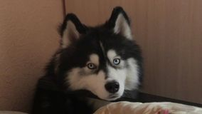 Τα σιβηρικά γεροδεμένα ψέματα σκυλιών στο πάτωμα και περιμένουν, κοιτάζουν γύρω απόθεμα βίντεο
