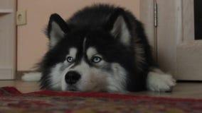 Τα σιβηρικά γεροδεμένα ψέματα σκυλιών στο πάτωμα και περιμένουν, κοιτάζουν γύρω φιλμ μικρού μήκους