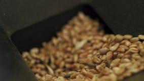 Τα σιτάρια σίτου κινηματογραφήσεων σε πρώτο πλάνο χύνονται στη συσκευή για την ποιότητα ελέγχου των διάφορων σιταριών απόθεμα βίντεο