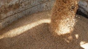Τα σιτάρια της σίκαλης φορτώνονται σε ένα φορτηγό, το φυτό των προϊόντων ψωμιού, την επιχείρηση της άλεσης και τη βιομηχανία τροφ απόθεμα βίντεο